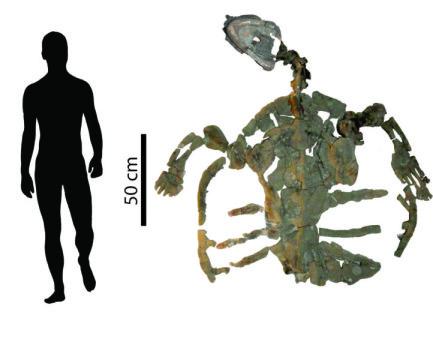 화석 바다거북의 골격의 몸길이는 2 미터 가까이 된다. Credit: ⓒ PaleoBios/Cadena