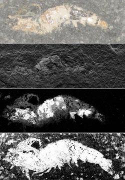 새우 화석을 찍은 3600 장의 작은 사진들을 한데 모아 이 화석이 보존되었던 과정을 더 잘 이해할 수 있게 만들었다. Credit: American Chemical Society