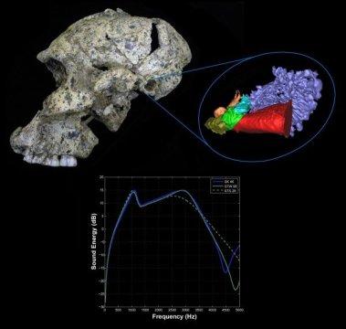 남아프리카 스와르트크란스 유적지에서 발견된 파란트로푸스 로부스투스 두개골 SK 46 을 옆에서 본 것, 그리고 귀의 3차원 가상 복원도와 초기 사람아과의 청각능력 도표. Credit: Rolf Quam