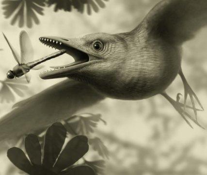 정교하게 배열되어 새의 날개 깃털을 제어했던 근육과 인대를 자세히 연구할 수 있을 만큼 잘 보존된 새의 화석이 새롭게 발견되어 가장 오래된 새들 중 최소한 일부는 대부분의 현생 새들과 비슷하게 공기역학적으로 뛰어난 비행솜씨를 선보였으리라는 생각을 뒷받침해주게 되었다. Credit: Stephanie Abramowicz
