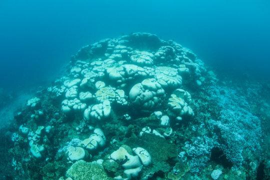 백화 현상이 일어난 산호군체. 물고기를 찾아볼 수 없다. Credit: © ead72 / Fotolia