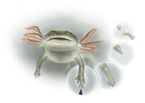 독일의 전기 페름기 지층에서 발견된 화석 양서류 미크로멜레르페톤 크레드네리 (Micromelerpeton credneri) 의 복원도. 앞다리가 재생되는 과정 및 그 결과 만들어진 기형 손을 볼 수 있다. Credit: Kalliopi Monoyios - Science Illustration and Communication
