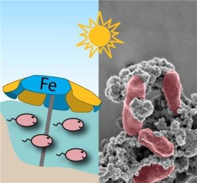 철산화 박테리아를 위한 차양: 이 자그마한 유기체는 자신의 세포 주위에 철광물, 혹은 녹을 형성하여 양산을 만들었다. 이것으로 유해한 자외선으로부터 자신을 보호할 수 있었다. Credit: Kappler/Gauger/University of Tübingen