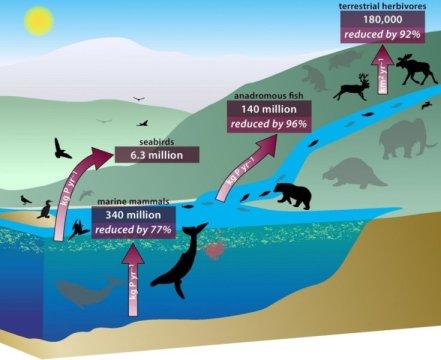 똥, 오줌, 그리고 죽은 후 분해되는 사체 등을 통해 깊은 바다 속에서 내륙 깊숙한 곳까지 영양소를 이동시키는 서로 연결되어 있는 동물들의 시스템을 보여주는 그림. Credit: Diagram from PNAS; designed by Renate Helmiss