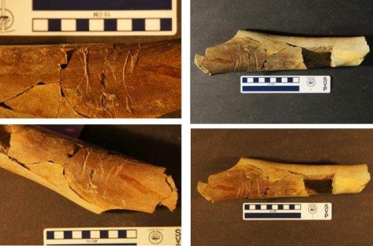 최근 발굴된 티라노사우루스류 공룡의 뼈에는 이빨자국이 나있었는데, 이 자국은 티라노사우루스류 공룡 특유의 것일 가능성이 대단히 높다. Credit: Photos by Matthew McLain.