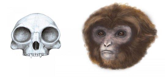 플리오바테스 카탈로니아이의 두개골 및 복원도. Credit: Marta Palmero / Institut Català de Paleontologia Miquel Crusafont