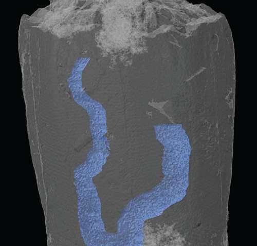 3차원으로 복원된 화석의 모습. 파란색은 내장. 표본의 크기는 3 mm 가 안된다. Credit: I. Rahman