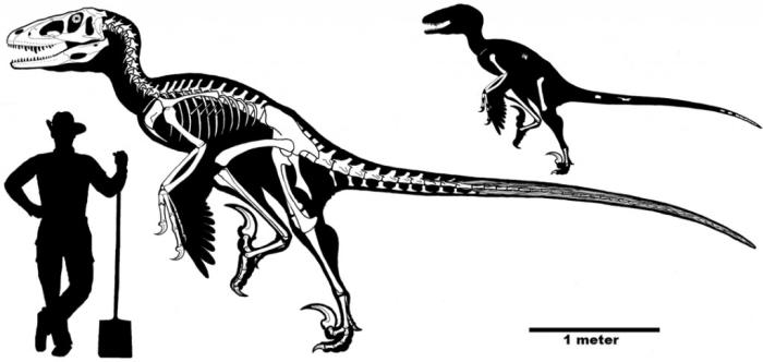 유타랍토르, 드로마이오사우루스, 데이노니쿠스, 그리고 아킬로바토르 등에 기반해 복원한 다코타랍토르의 골격. 전반적인 비율과 크기를 보여준다. (Credit: Robert DePalma)