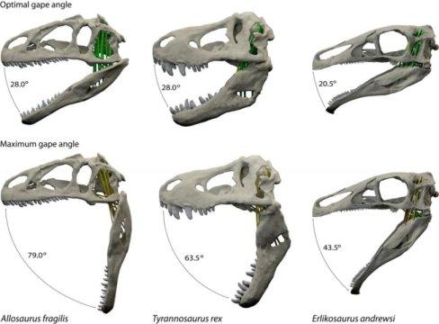 세 종류의 공룡이 턱을 벌릴 때 최적 각도와 최대각도. 알로사우루스 프라길리스, 티라노사우루스 렉스, 에를리코사우루스 안드레우시. Credit: Stephan Lautenschlager, University of Bristol