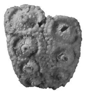 남캘리포니아대학의 제프리 톰슨이 발견한 에오티라이스 구아달루펜시스 화석은 스미소니언 컬렉션에 보관되어 있었다. Credit: Courtesy of David Bottjer/USC