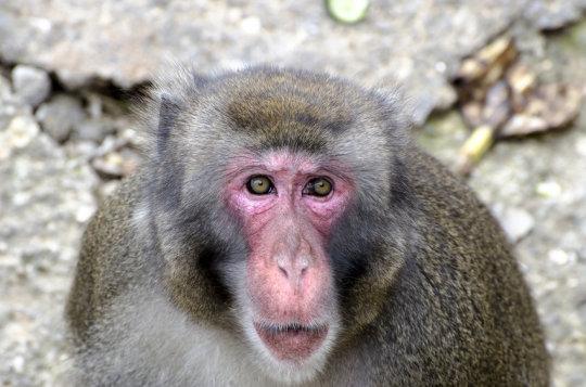 원숭이. 인간과 원숭이의 뇌를 스캔하여 연구팀은 인간과 원숭이 모두의 뇌 앞쪽에 연속적인 소리가 정해진 순서로, 혹은 예상치 못하게 정해진 순서를 따르지 않고 났을 때 이를 인식하는 영역이 있다는 것을 확인했다. (stock image) Credit: © giadophoto / Fotolia