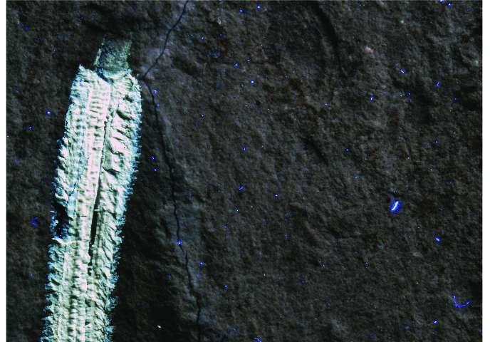 레바논의 백악기 지층에서 발견된 화석 불갯지렁이 롤린스카이타 미오플레나 (Rollinschaeta myoplena) 는 근육조직이 보존되어 있어 자외선을 쬐면 흰색으로 형광을 낸다.