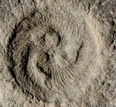 영국 브리스톨 대학의 임란 라만 박사의 주도로 과학자들이 컴퓨터 시뮬레이션을 통해 살아있는 동물 중에는 비슷한 종류가 없는, 5억5천5백만 년 전에 살았던 수수께끼의 유기체가 어떻게 먹이를 먹었는지를 알아냈으며, 지구 상에 나타난 최초의 복잡한 대형 동물이 이전에 생각했던 것보다 훨씬 복잡한 생태계를 형성했다는 것을 밝혔다. Credit: M. Laflamme