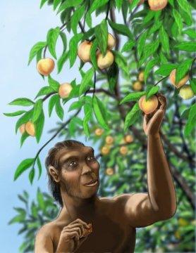 오래전에 멸종한 사람아과 종인 호모 에렉투스 (Homo erectus) 는 지금의 인류처럼 복숭아를 즐겨 먹었을지도 모른다. 2백5십만 년 이상 된 복숭아 화석이 중국에서 발견되어 현생 복숭아의 조상격인 야생종이 호모 에렉투스나 현생인류가 나타나기 한참 전에 이미 존재하고 있었을 수 있다는 것을 보였다. Credit: Rebecca Wilf