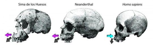 현생인류와 비교한 시마 데 로스 우에소스 (SH) 및 네안데르탈인의 윗턱뼈 성장 방향. Credit: Rodrigo S Lacruz