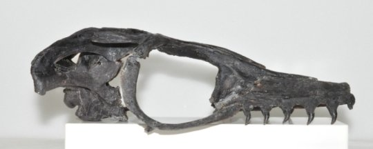 국제 연구팀이 일본에서는 처음으로 희귀한 모사사우루스류를 발견했다. Credit: Takuya Konishi