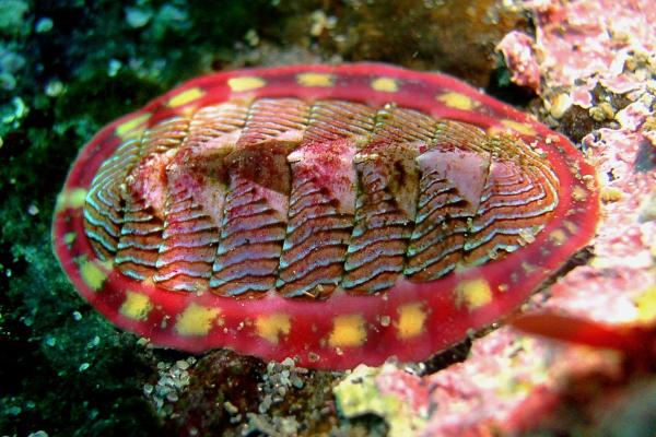 줄딱지조개 (Tonicella lineata). 위키미디어