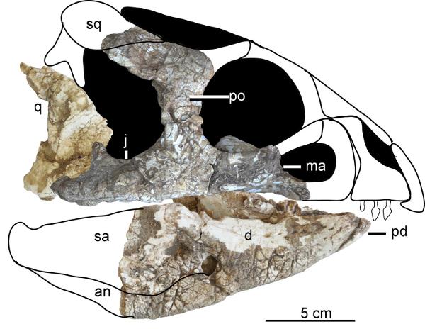 후알리안케라톱스 우카이와넨시스의 완모식표본 (IVPP V18641) 두개골을 재구성한 그림. Credit: Han et al.