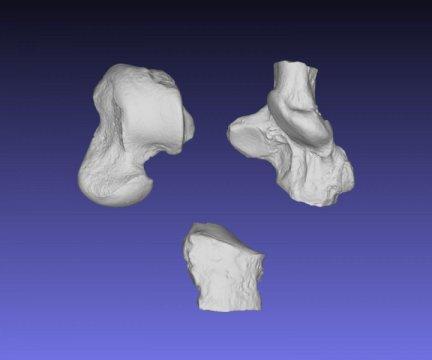 갈레키온의 발목뼈를 위에서 본 모습. 왼쪽 위에서부터 시계방향으로 목말뼈, 발꿈치뼈, 입방뼈. Credit: Image by S. Zack
