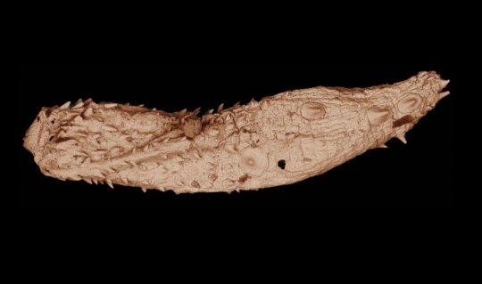 길이가 수 밀리미터에 불과한 에오키노린쿠스 라루스 (Eokinorhynchus rarus) 화석의 전자현미경 이미지. 버지니아 공과대학의 연구자들에 의해 남중국에서 발견된 5억3천만 년 된 고대의 벌레는 현생 동물인 키노린카 문 (phylum Kinorhyncha) 과 가까운 관계이다. Credit: Virginia Tech