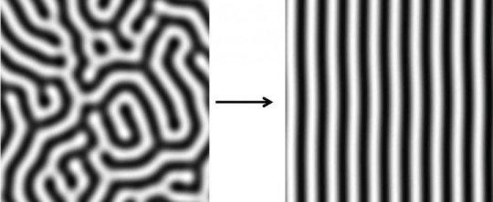튜링 줄무늬의 시뮬레이션 결과를 보여주는 그림. 왼쪽의 줄무늬는 일정한 간격을 가지고 있지만 방향은 다양한다. 오른쪽의 그림에서는 신호구배때문에 줄무늬가 같은 방향으로 정렬되었다. Credit: Tom Hiscock