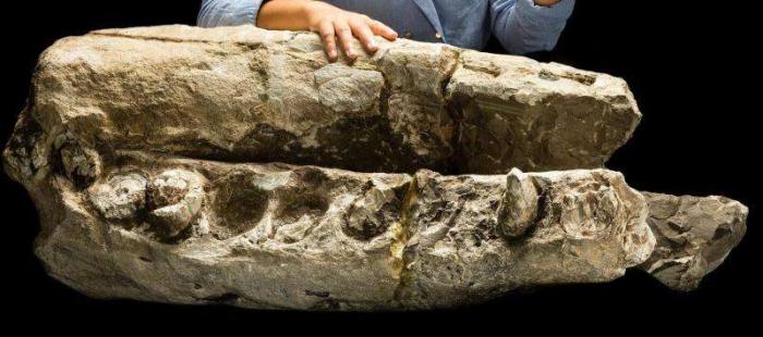 연구생인 알렉스 보어스마와 모식표본인 알비케투스 옥시믹테루스의 아래턱과 부리. 표본은 1천4백만 년에서 1천6백만 년 전의 것이다. Credit: Jame Di Loreto, Smithsonian.