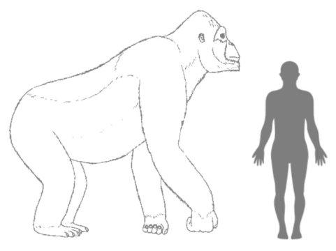 사람과 비교한 기간토피테쿠스의 추정 몸크기. Credit: © H. Bocherens
