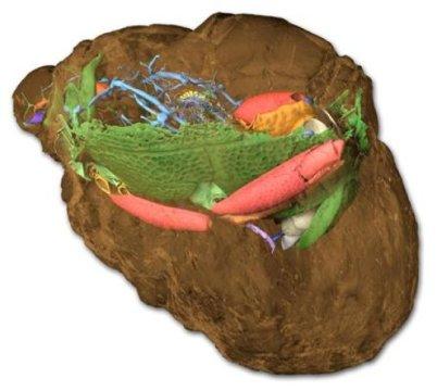 암석 (갈색) 속에 딱정벌레가 화석으로 보존되어 있다. 보존되기 어려운 연조직, 그리고 부서지기 쉬운 부속지 등이 3차원적으로 훌륭하게 보존되어 있다. Credit: A. Schwermann / Th. van de Kamp / KIT