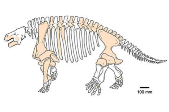 중국 산시성의 페름기 최후기 지층에서 발견된 대형 파레이아사우르스류인 시티엔페니아의 골격. 골격의 전반적인 모습은 러시아에서 발견된 근연종에 기반하였으며 색이 칠해진 부분은 실제로 발견된 뼈들이다. Credit: Image courtesy of University of Bristol