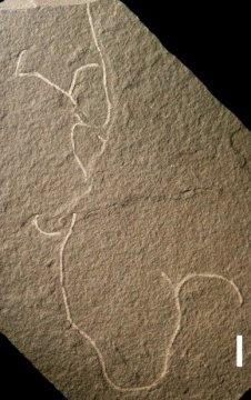 최근 화석으로 보존되어 발견된 새로운 종류의 다세포 해조류는 칭기스카니아 비푸르카타 (Chinggiskhaania bifurcata) 라는 학명을 가지게 되었다. Credit: Image courtesy of University of Wisconsin-Milwaukee