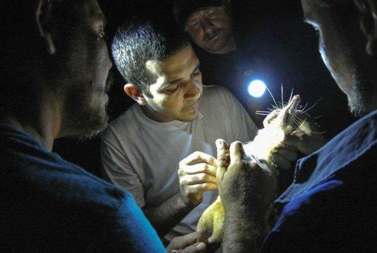 주돔(ZooDom) 수의사인 아드렐 누네즈가 DNA 샘플을 얻기 위해 솔레노돈으로부터 혈액을 채취하고 있다. 연구자들은 독을 지닌 이 포유류를 도미니카 공화국의 숲에서 밤중에 연구자들의 몸 위를 걸어갈 수 있게 하는 방식으로 포획했다. 왼쪽부터 니콜라스 데 J. 코로나, 아드렐 누네즈, 타라스 K. 올렉시크, 그리고 이멜 코로나. Credit: Photo by Taras Oleksyk and Yashira Afanador