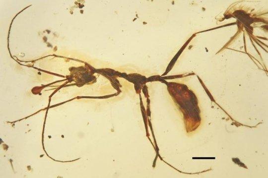 새롭게 발견된 백악기 후기 일개미 케라토미르멕스 엘렌베르게리 (Ceratomyrmex ellenbergeri) 완모식 표본을 위에서 본 모습. Credit: Image by WANG Bo