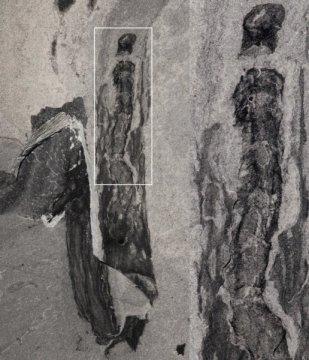 마르가레티아 '관' 안에 남아있는 오에시아의 화석. Credit: Karma Nanglu