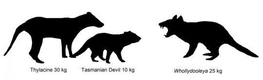 퀸즐랜드 뉴리버슬레이 화석 발굴지에서 새롭게 발견된 육식성 유대류 홀리둘레야 톰파트리코룸 (Whollydooleya tomnpatrichorum) 를 포함하여 오스트레일리아의 유대류의 크기를 비교한 그림. Credit: Illustration: Karen Black/UNSW