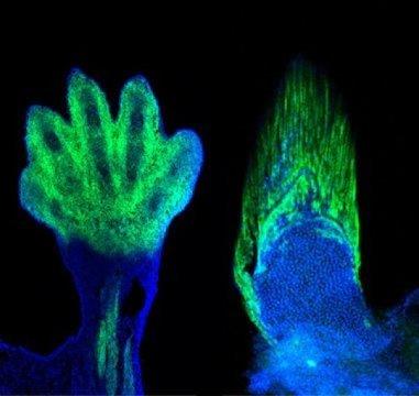 쥐 다리에서 손목과 손가락에 발현된 마커 (왼쪽) 가 어류에도 존재하며 지느러미의 경계를 보여준다 (오른쪽). 네발동물의 손목과 손가락은 세포들의 기원 측면에서나 유전적인 측면에서나 어류의 지느러미와 동등하다. Credit: Shubin laboratory